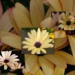 Daisy Collage_300X225