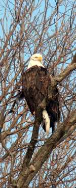 eagle_frontview_pic150x369